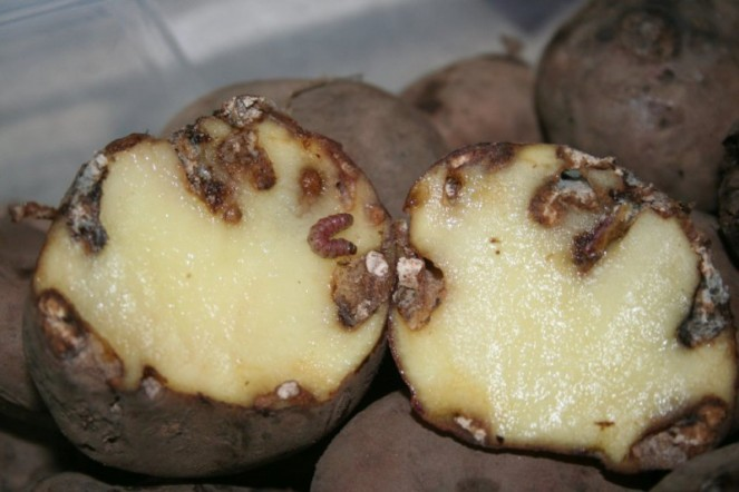 Fig. 3 Damaged potato (potatopro)