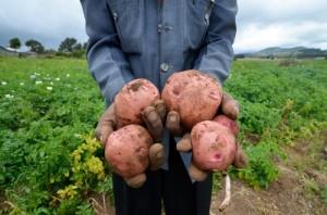 Usar semilla certificada de papa no siempre aumenta su producción