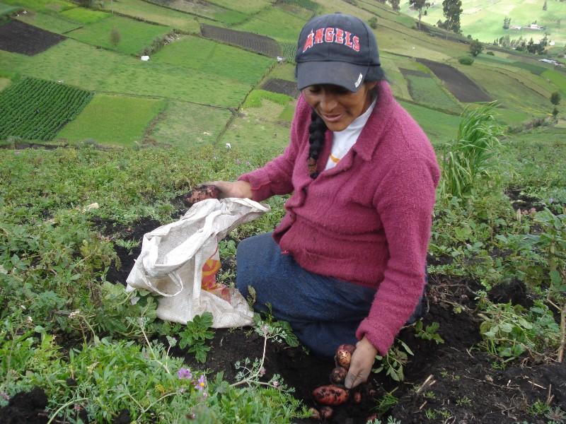 Agricultora ecuatoriana seleccionando las mejores plantas de papa (CIP)