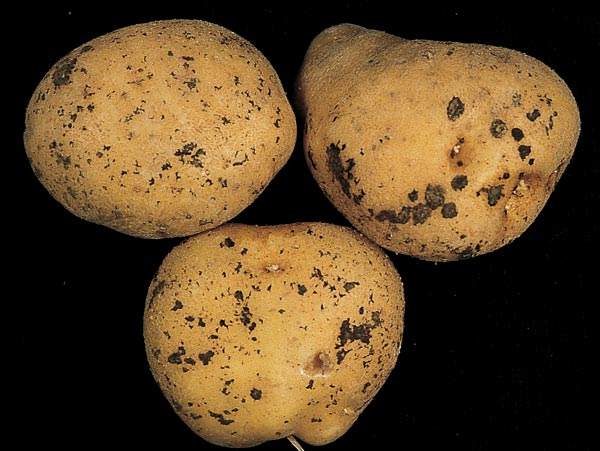Tubérculos afectados por Rhizoctonia solani (The French Seed Potato Farm)